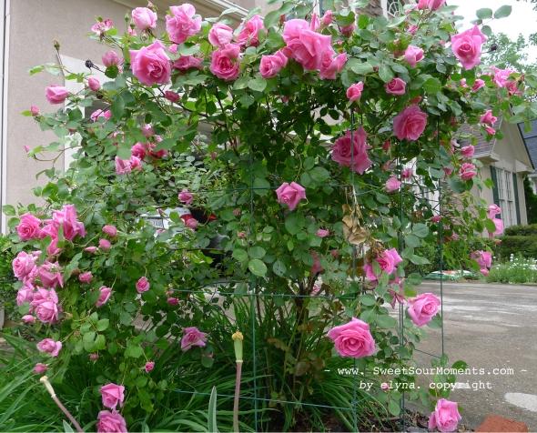 pink rose 4 copy