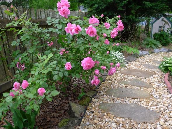 pink rose 6